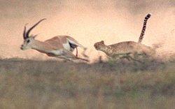 Cheetah_chasing_gazelle